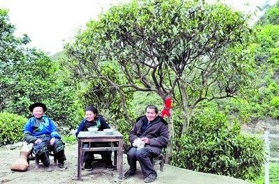 Золотое чайное дерево возрастом 402 года