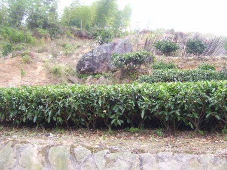 Кусты белого чая имеют крупные листья. На подступах к Тайму