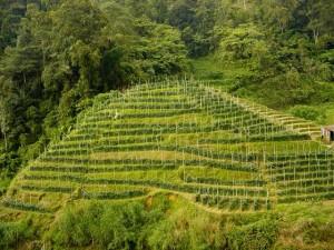 В пригородном районе Цзинани развивается чайное производство