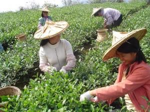 В Узбекистане начали выращивать чай