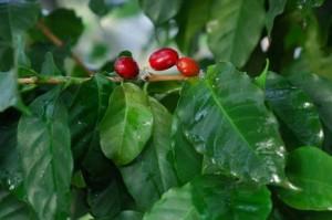 Чай из листьев кофейного дерева