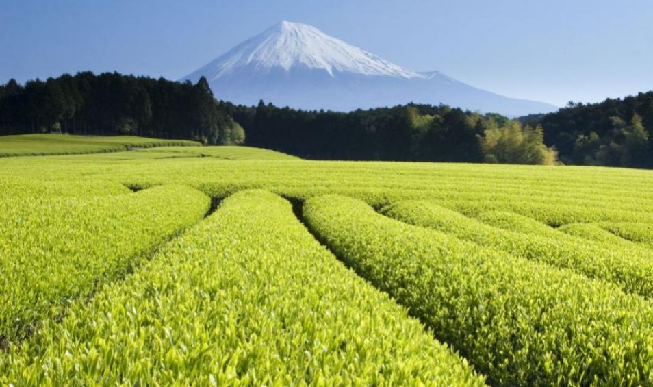 Золотой чай из Баоцзина обогащает 20000 фермеров, работающих в районах его произрастания