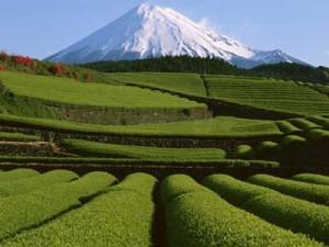 Японский чай стал радиоактивным