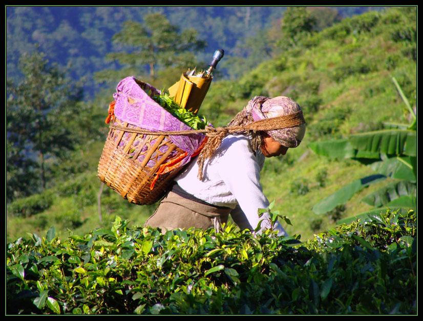 Элитные сорта индийского черного чая: характеристики и отличия