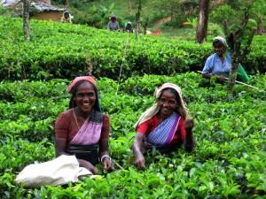 Этапы изготовления настоящего цейлонского чая