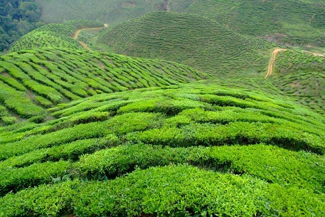Чай — визитная карточка Шри-Ланки