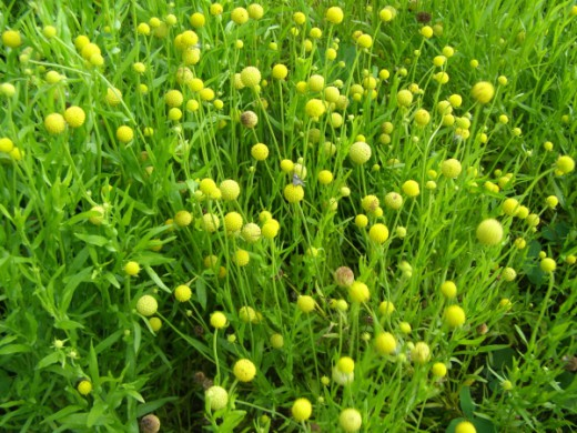 Травяной чай. Земляничная трава