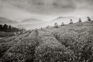 История мацестинского чая