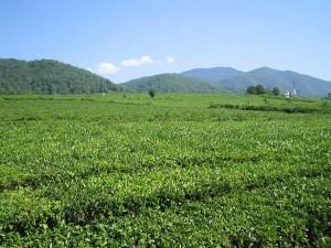 В Сочи завершен сбор чайного листа