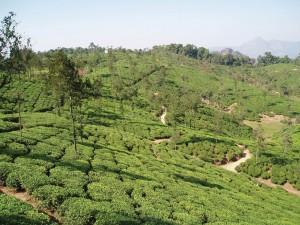Индонезия является одной из ведущих стран-производителей чая в мире