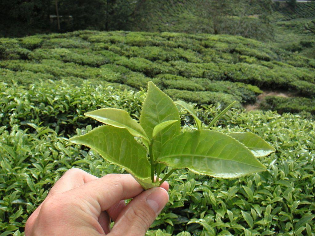 кишмише чай картинки как растет чай вкусного завтрака все
