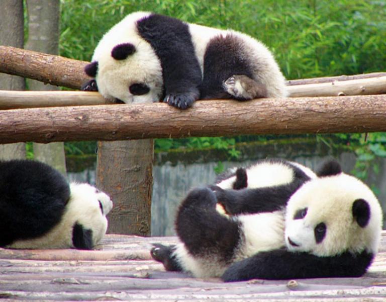 Чай из экскрементов панды сможет поразить любого своим вкусом