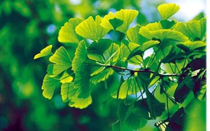 Чай из листьев гинкго – новое лекарство