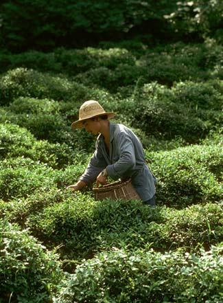 Как классифицируется чай?