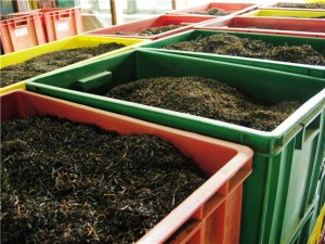Производство чая, ферментация чая