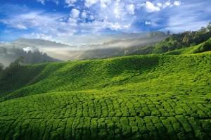 Как чай распространялся по миру?