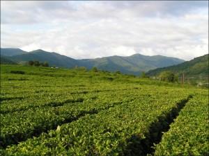 История выращивание чая