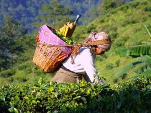 В Индии чай станет национальным напитком