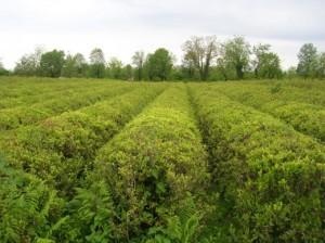 Характеристика российского чайного рынка