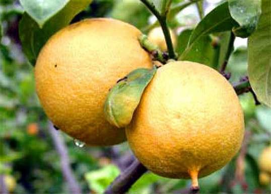 Чай с бергамотом: восхитительный напиток с нежным ароматом