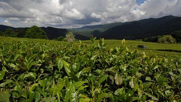 В России выведен новый сорт самого северного чая в мире