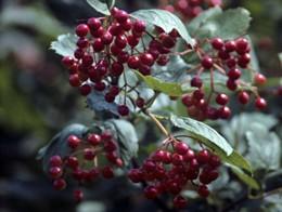 Чай из калины – лучшее средство при простуде