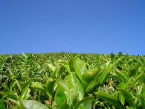 Удивительные свойства зелёного чая