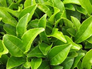 Улучшению памяти способствует зеленый чай