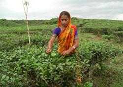 Снят запрет на ввоз чая из индии