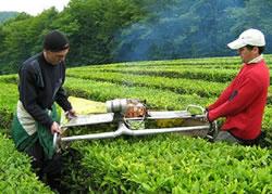 Свыше 700 тонн чайного листа собрали чаеводы Сочи