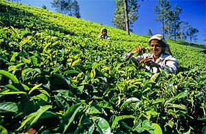 Цейлонский чай станет лучше