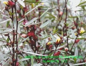Каркаде — гибикус сабдариффа (Hibiscus sabdariffa)