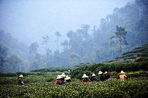 Чайные города и провинции Китая