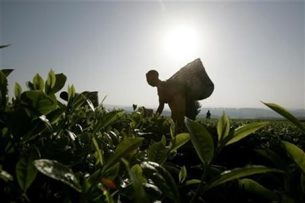 Рост цен на чай