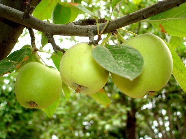 Привитые плодовые деревья особенности и посадка деревьев