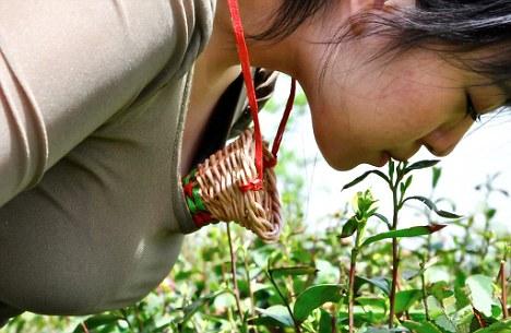 Китайцы производят чай, который собирают губами девственниц
