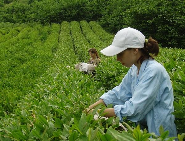 В Сочи начали собирать урожай чая. Сезон открыли в Лазаревском районе