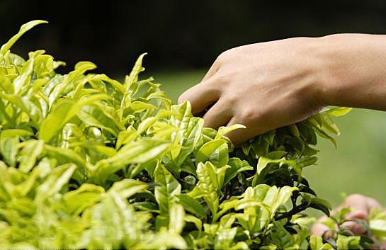 Выращивание чая дома