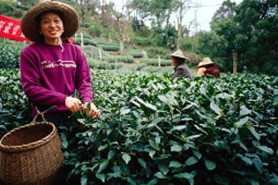 Зеленый чай, на самом деле, опасен для здоровья
