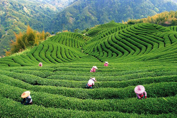 Китайская чайная промышленность сталкивается с неловкостью