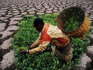 Крупнейшие мировые производители чая объединились в Международный форум