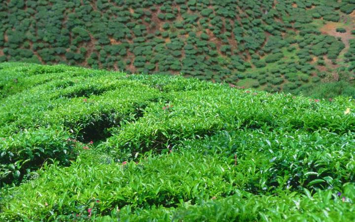 Россельхознадзор: земли самого северного в мире чая заросли сорняками