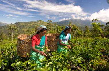 Индийский чай будут продавать по новым правилам