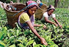 Чай в Индии будут производить в соответствии с экологическими стандартами