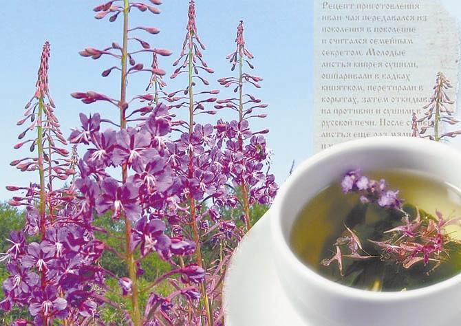 Иван-чай: сила в чашке