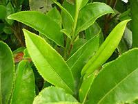 Зеленый чай и овощи продлят жизнь
