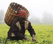 Цена на кенийский чай растет из-за спроса в Казахстане