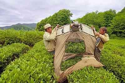 Традиция производства элитного чая возрождается в Адыгее