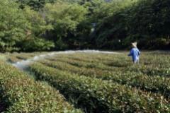 Чай подорожает: жара повредила чайные плантации в Восточном Китае