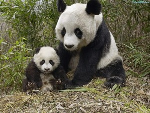 Самый дорогой чай в мире будет сделан из фекалий панды